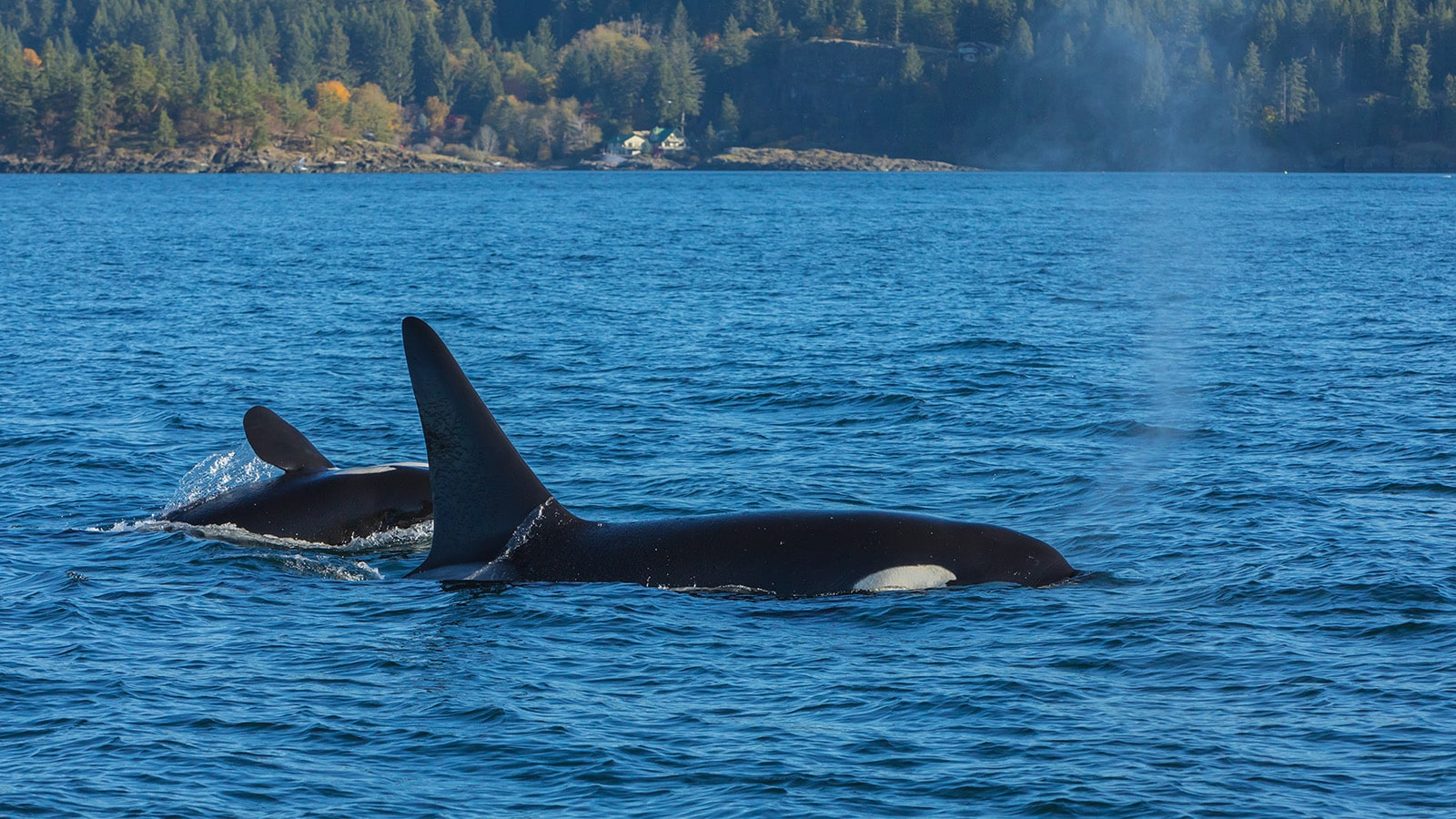 Two killer whales at the surface of the water