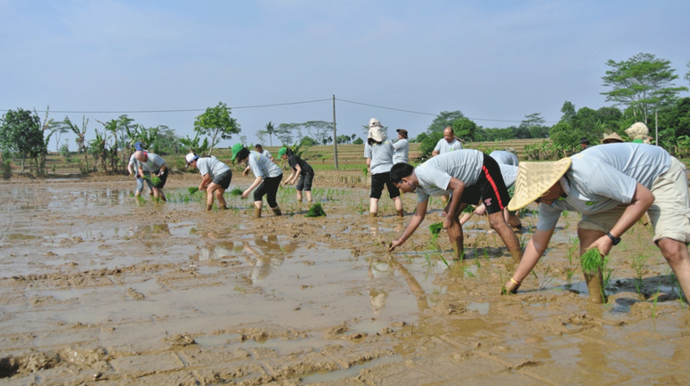Volunteers transplant rice alongside local farmers in Indonesia